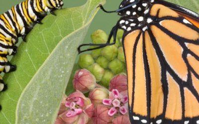 Metamorphosis: For Caterpillars AND  Nina